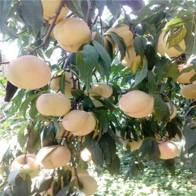三公分桃樹多錢一棵 黃金冠桃樹苗批發報價