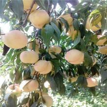 新品種桃樹苗批發價格仲秋黃金脆桃樹苗批發價格圖片