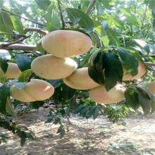 地徑一公分桃苗價格及報價春雪桃樹苗價格及報價圖片