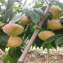 兩年生的桃樹出售電話黃金脆桃樹苗出售電話圖片