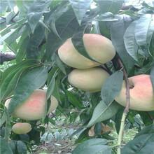 當年結果的桃樹種植季節好金秋黃蜜桃苗基地報價圖片