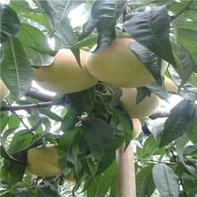 三公分桃樹現貨供應福秀油桃桃樹苗現貨供應圖片
