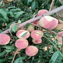 當年結果的桃樹批發基地春蜜桃樹苗批發基地圖片