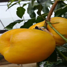 占地大桃樹多錢一棵珍品王桃桃樹苗多錢一棵圖片