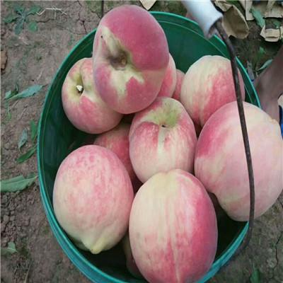 2020年山東桃苗多錢一棵 早熟油桃桃樹苗批發基地
