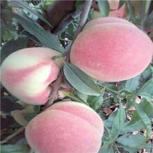 兩年生的桃樹油蟠7—7桃樹苗出售電話圖片