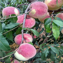 占地大桃樹基地報價夏麗桃樹苗基地報價圖片