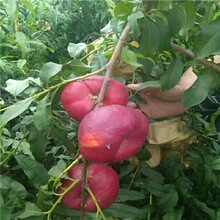 占地大桃樹價格及報價春雪桃樹苗價格及報價圖片