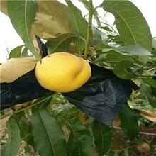 地徑一公分多味桃桃樹苗現貨供應圖片