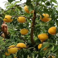 地徑一公分黃桃桃樹苗基地報價圖片