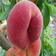 當年結果的桃樹價格及報價錦陽黃桃桃樹苗基地報價圖片
