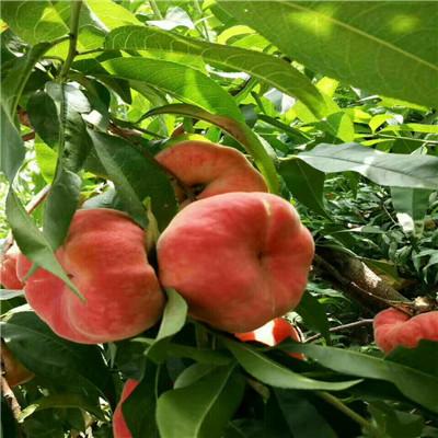 地徑一公分桃苗批發價格 錦春黃桃桃樹苗出售電話