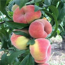 當年結果的早蜜桃樹苗多錢一棵圖片