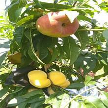 當年結果的桃樹批發基地93桃樹苗批發基地圖片