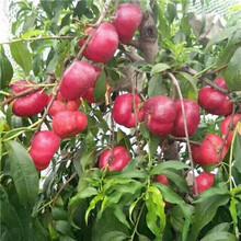 當年結果的桃樹多錢一棵錦繡黃桃桃樹苗多錢一棵圖片