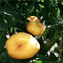 新品種桃樹苗基地報價富島紅桃樹苗基地報價圖片