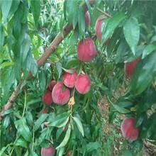 山東桃樹苗基地價格及報價冬雪紅蜜桃樹苗價格及報價圖片