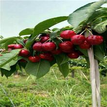 吉塞拉12號砧木櫻桃苗價格及報價俄羅斯8號櫻桃苗批發價格圖片