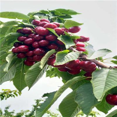 吉塞拉12號砧木櫻桃苗價格及報價 薩米脫櫻桃苗現貨供應