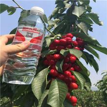 吉塞拉12號砧木櫻桃苗批發價格紅燈櫻桃苗批發價格圖片