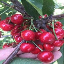 吉塞拉6號砧木櫻桃苗批發基地佳紅櫻桃苗價格及報價