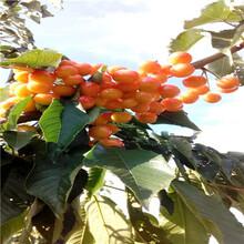 新品種櫻桃苗種植技術岱紅櫻桃苗多錢一棵圖片