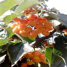 定植兩年的櫻桃苗基地報價紅瑪瑙櫻桃苗基地報價圖片