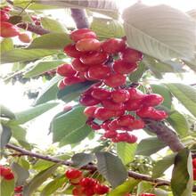 吉塞拉6號砧木櫻桃苗現貨供應美國大紅櫻桃苗現貨供應圖片