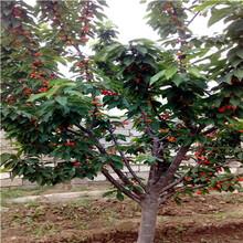 兩年生三公分大櫻桃櫻桃苗出售電話圖片
