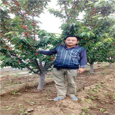 兩年生三公分櫻桃苗出售電話 南陽櫻桃苗出售電話
