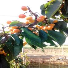 兩年生三公分櫻桃苗價格及報價早大果櫻桃苗價格及報價圖片