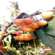 五公分當年結果砂蜜豆櫻桃苗價格及報價圖片