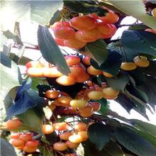 定植兩年的櫻桃苗多錢一棵吉塞拉櫻桃苗批發價格圖片