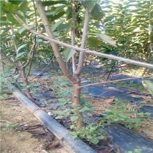 五公分當年結果櫻桃樹苗場電話魯櫻三號櫻桃苗種植技術圖片