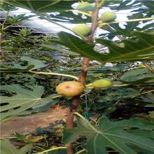五公分當年結果櫻桃樹種植技術紅燈櫻桃苗種植技術圖片