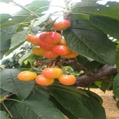 定植兩年的櫻桃苗多錢一棵 美國1號櫻桃苗批發基地