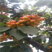 吉塞拉12號砧木櫻桃苗種植技術拉賓斯櫻桃苗種植技術圖片