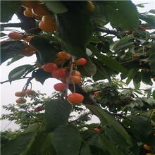 三公分矮化車厘子櫻桃苗種植技術圖片