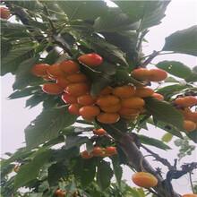 吉12矮化櫻桃苗出售電話大紫櫻桃苗出售電話圖片