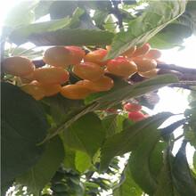 吉6矮化櫻桃苗一棵價錢岱紅櫻桃苗苗場電話圖片