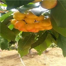 定植兩年的櫻桃苗現貨供應佳紅櫻桃苗現貨供應圖片