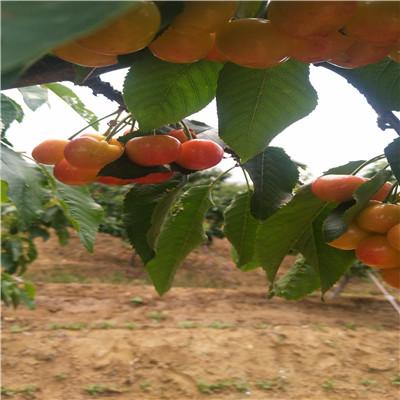兩年生三公分櫻桃苗批發多錢 拉賓斯櫻桃苗批發基地