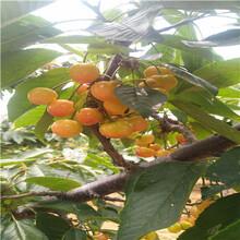 吉塞拉6號砧木櫻桃苗多錢一棵櫻桃苗多錢一棵圖片