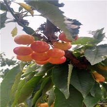 定植兩年的櫻桃苗多錢一棵佳紅櫻桃苗批發多錢圖片
