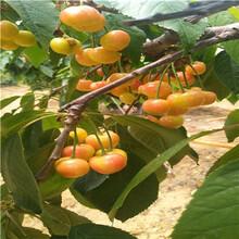 新品種櫻桃苗種植技術福星櫻桃苗批發價格圖片