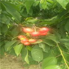 地徑一公分櫻桃苗種植技術南陽櫻桃苗種植技術圖片