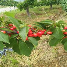 地徑一公分櫻桃苗批發價格大櫻桃櫻桃苗種植技術圖片