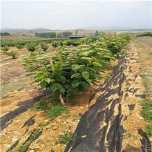 吉6矮化櫻桃苗種植技術櫻桃苗種植技術圖片