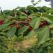 黑珍珠櫻桃苗五公分當年結果櫻桃樹批發多錢