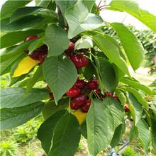 吉塞拉6號砧木櫻桃苗基地報價薩米脫櫻桃苗出售電話圖片